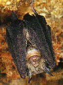Large-Eared Horseshoe-bat