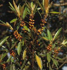 ! Strangler Fig Fruit ! Tropical Rainforest, Far North ...