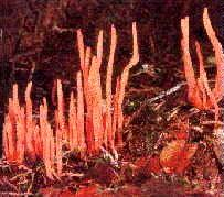 Devils Tongue Fungus