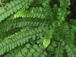 Maidenhair Fern ! Tropical Rainforest, Far North Queensland Australia