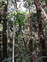Rainforest Understorey, Chambers Wildlife Rainforest Lodge