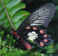Red-bodied Swallowtail