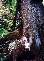 Giant Red Cedar Tree
