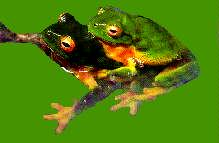 Northern Red-eyed Tree Frog