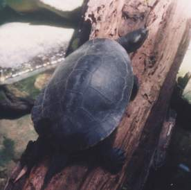 Short necked turtle